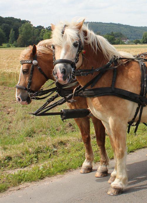 horses team horse drawn carriage