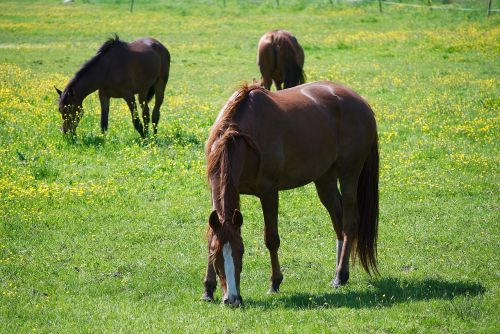 horses horse pasture east frisia