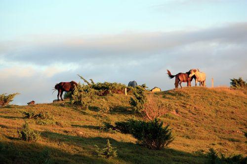 arkliai,vasaros vakaras,gamta,hage