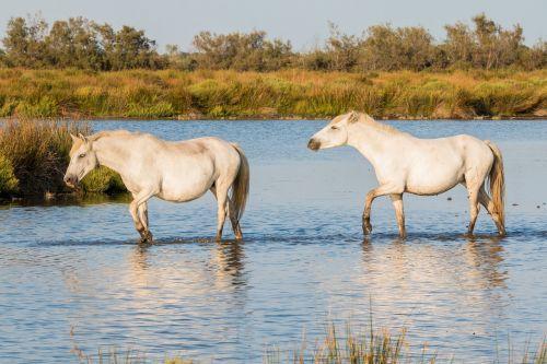 horses white horses camargue