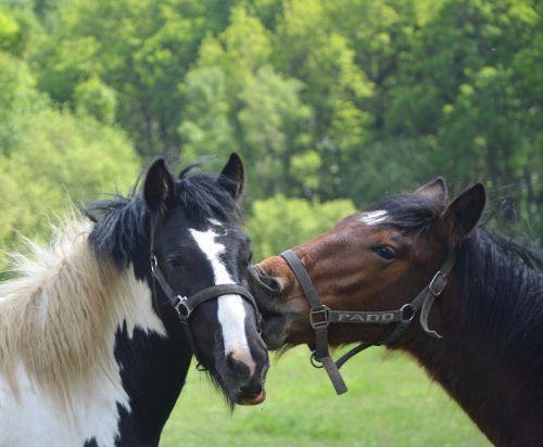 horses heads kiss horse