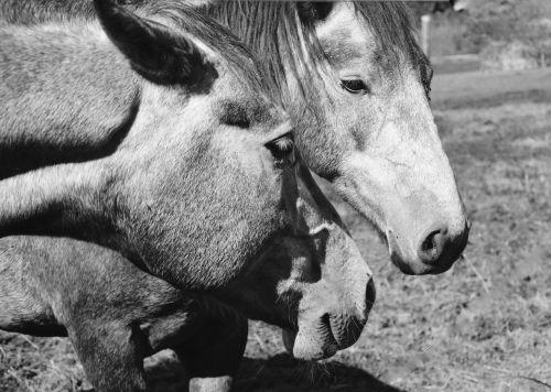 horses head horse portrait profile