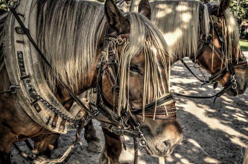 horses horse's draft horse