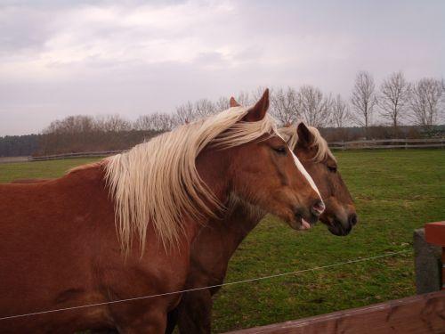 horses horse mane horse head