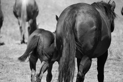 horses horseback riding stallion