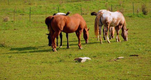 horses pasture meadow animal
