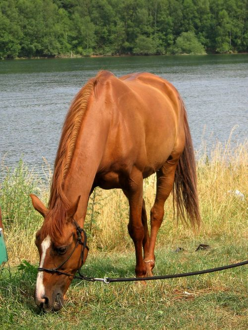 horses chestnut browse