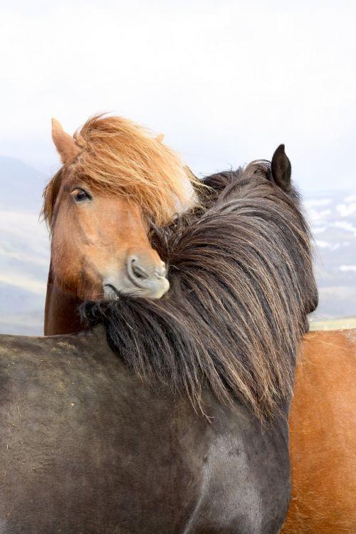 arkliai,islandų salos,Islandijos arklys,laukinės gamtos fotografija,paddock,iceland pony,iceland,Žiurkė