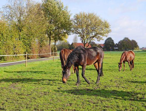 horses coupling black-brown