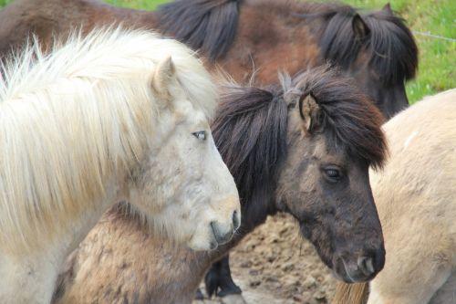 arkliai,arklys,važiuoti,gyvūnas,Islandijos arklys,jodinėjimas,Reiter,Žiurkė,ganyti,ponis,laukinis arklys,kalnas,rait,balta,ruda,ross