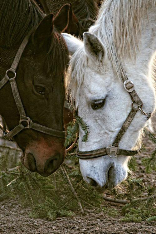 horses horse heads portraits