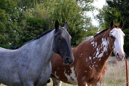 horses  fellow  equine