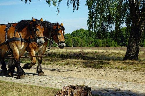 horses  monteaura  lüneburg heath