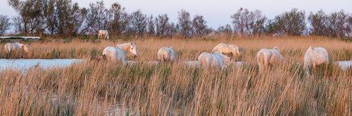 horses  camargue  nature