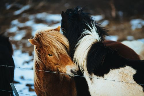 arkliai,poniai,ponis,gyvūnas,eržilas,gamta,jodinėjimas,ūkis,Šalis,ganykla,veislė,gyvūnai,plaukai,Žiurkė,spygliuota viela