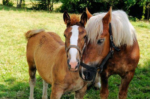 horses schwarzwälder kaltblut intimacy