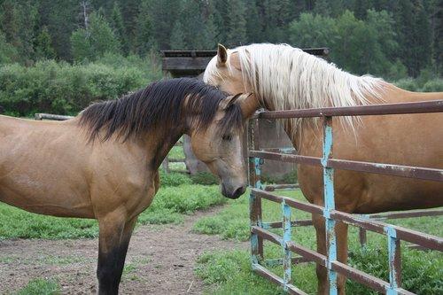 horses  stallion  mare