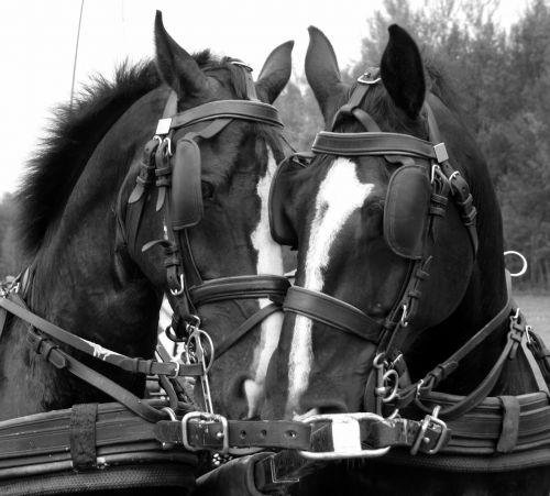 horses tactics snack driving horses