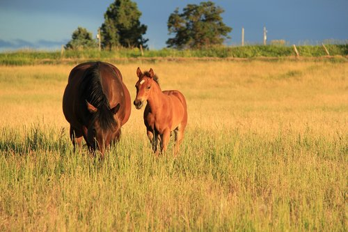 horses  mare and colt in field  sunset