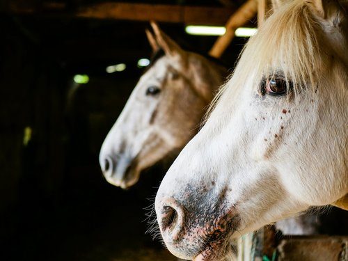 horses  portrait  mane