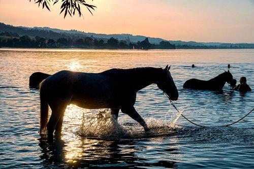 horses  swim  lake