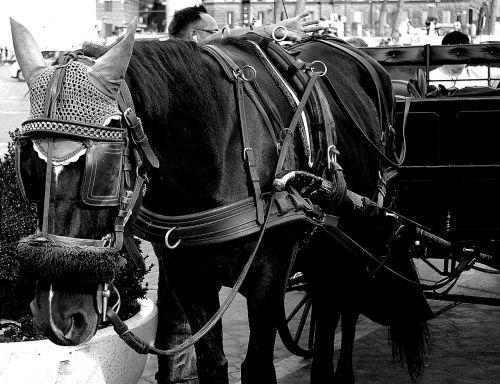 horses black and white reflection