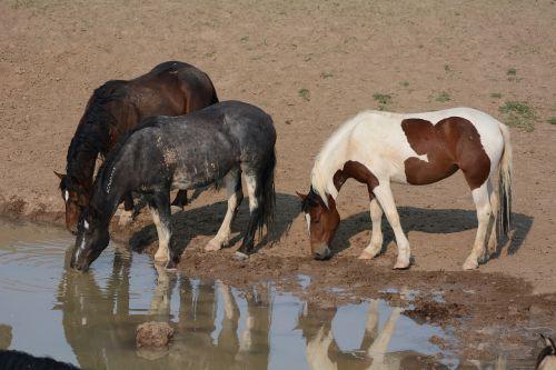 horses mustangs wild