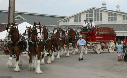 horses wagon clydesdales