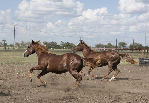 arkliai,ranča,bėgimas,arkliai,gyvūnai,ketvirti arkliai,kaimas,lauke,Venus,texas,portretas,usa