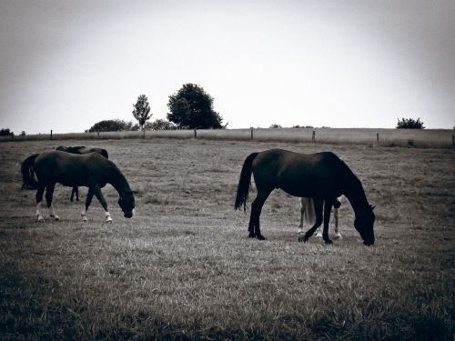 horses pasture graze