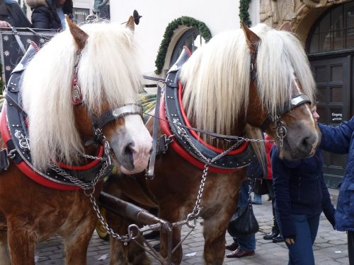 horses horse drawn carriage blond mane