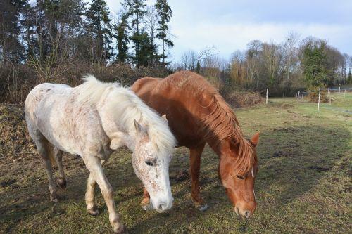 horses graze herbivore white horse