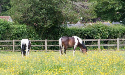 Horses In Buttercup Meadow