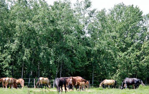 arkliai, Akhal & nbsp, teke, kumelės, peizažas, rytas, arklių peizažas