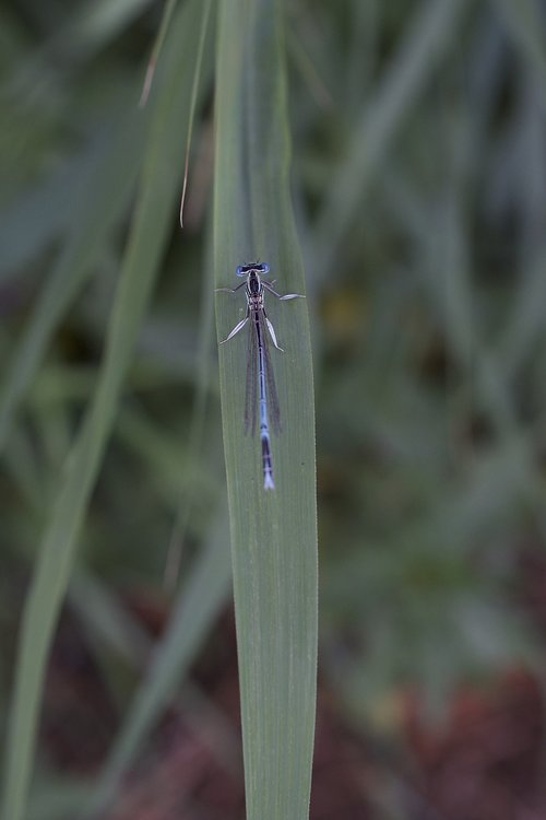 horseshoe-azure bridesmaid  dragonfly  blue dragonfly