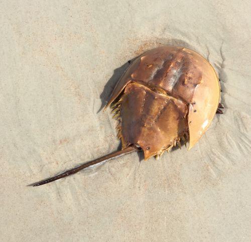 horseshoe crab marine life ocean