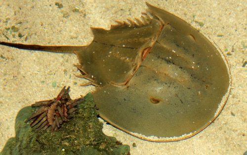 horseshoe crab sea life crustacean