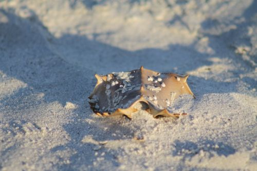 horseshoe crab beach crab