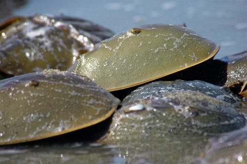 horseshoe crabs crabs horseshoe