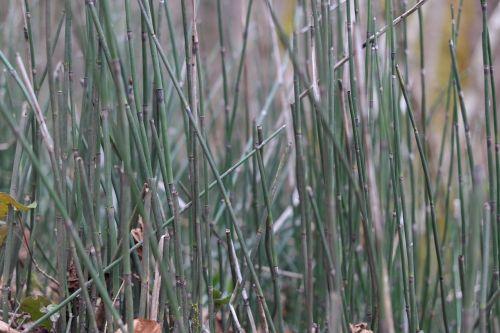 horsetail winter horsetail equisetum hyemale