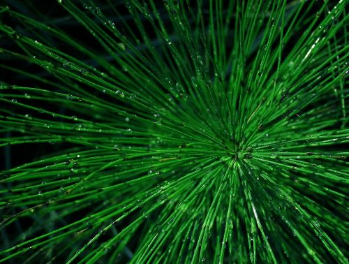 horsetail green drops