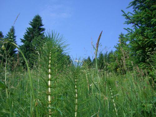 horsetail grasses fir