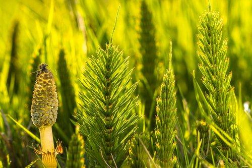 horsetail  cattail  equisetum arvense