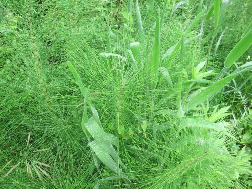 horsetail meadow green