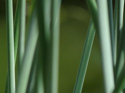 asilas,teichplanze,tvenkinys,teichschachtelhalm,pelkių augalas,žalias,augalas,nendrė