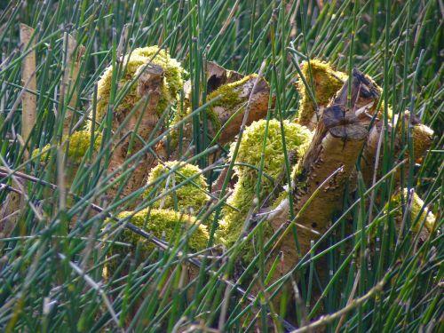 horsetail marsh plant green