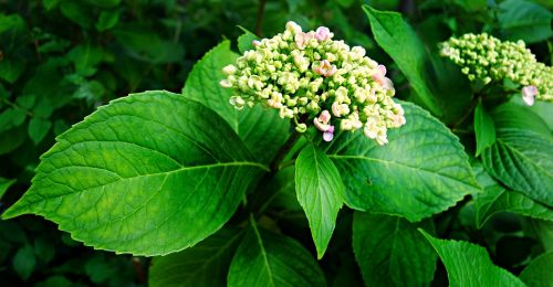 hortensia hydrangea plant