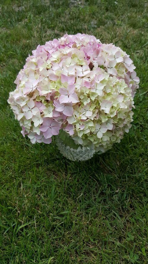hortensia planta flore