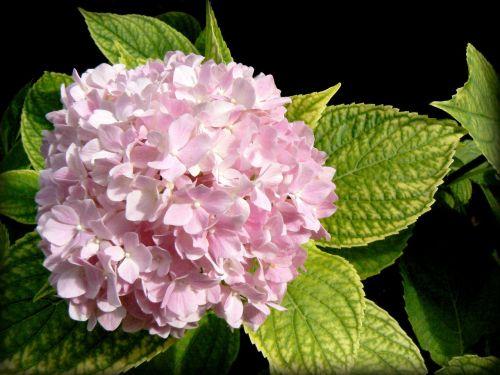 hortensia hydrangea flower