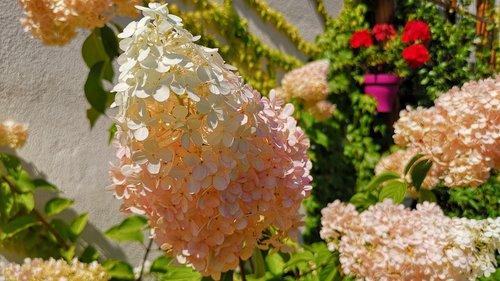 hortènsia  flower  garden